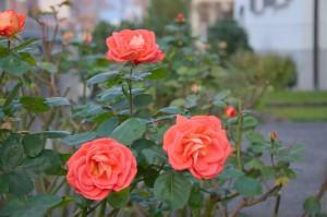 Rose, Strauch